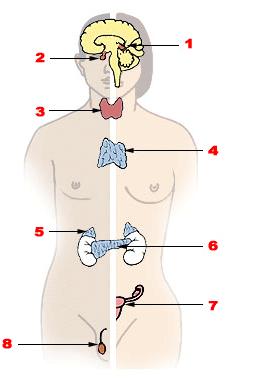 гормоны и железы